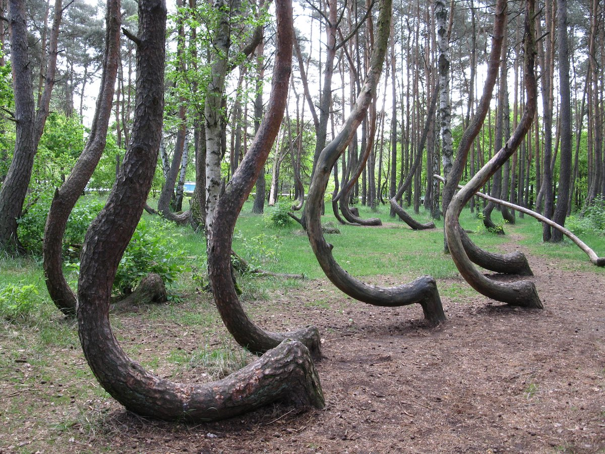 Crooked Forest Poland