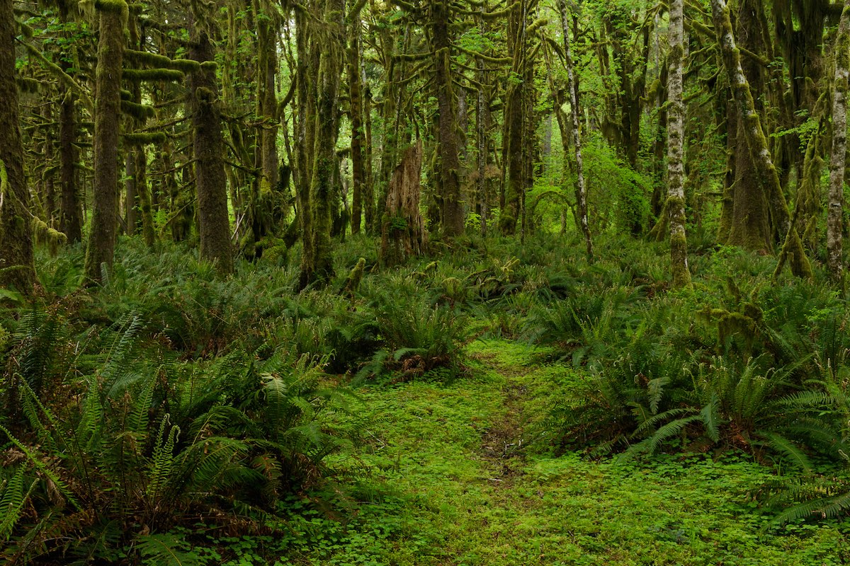 Quinault Rain Forest Washington